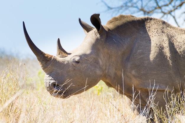 Rinoceronte isolado perto, áfrica do sul