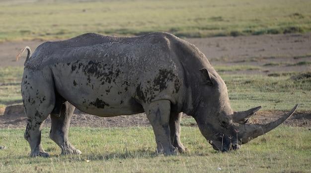 Rinoceronte negro africano em perigo crítico na áfrica oriental