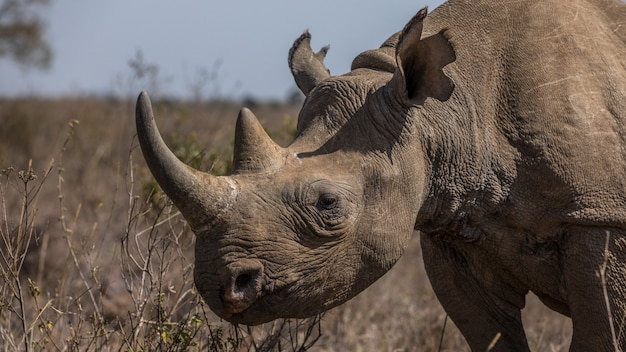 Rinoceronte negro africano