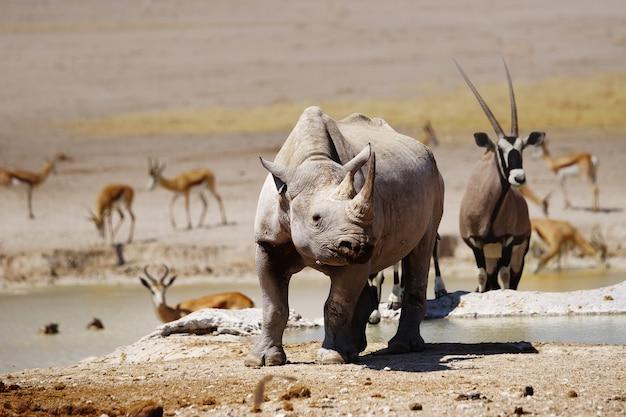Rinoceronte negro, órix e gazela no poço nebrownii no parque nacional de etosha, namíbia