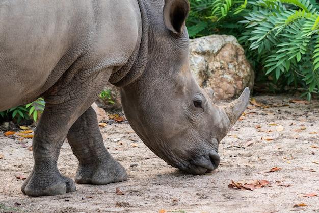 Rinoceronte ou rinoceronte perto acima do tiro.