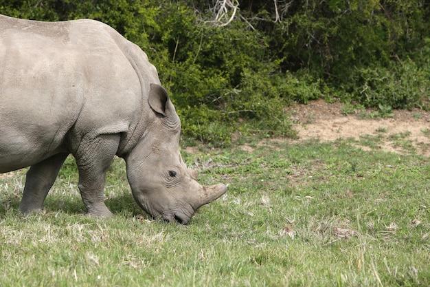 Rinoceronte pastando em um campo coberto de grama sob o sol