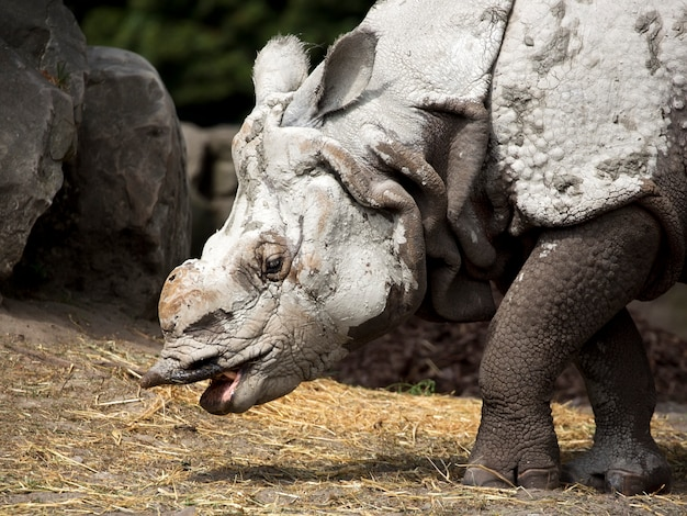 Rinoceronte um retrato