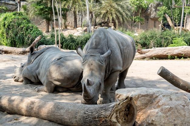 Rinocerontes em um dos parques da tailândia