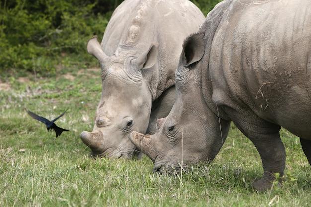 Rinocerontes magníficos pastando nos campos cobertos de grama perto dos arbustos
