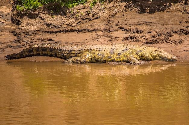 Rio com crocodilos no parque nacional masai mara, animais selvagens na savana. quênia, áfrica