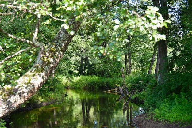 Rio pequeno em uma floresta russa no verão