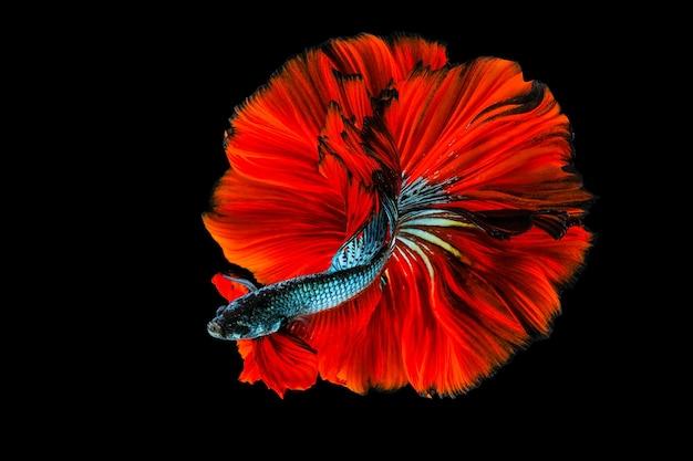 Rítmico de peixe betta, peixe lutador siamês betta splendens