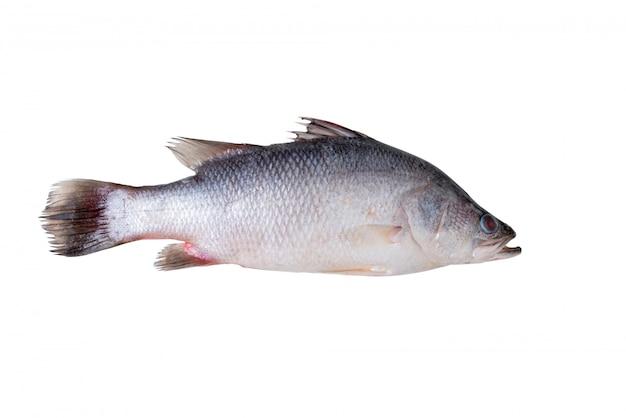 Robalo de peixe fresco isolado no branco