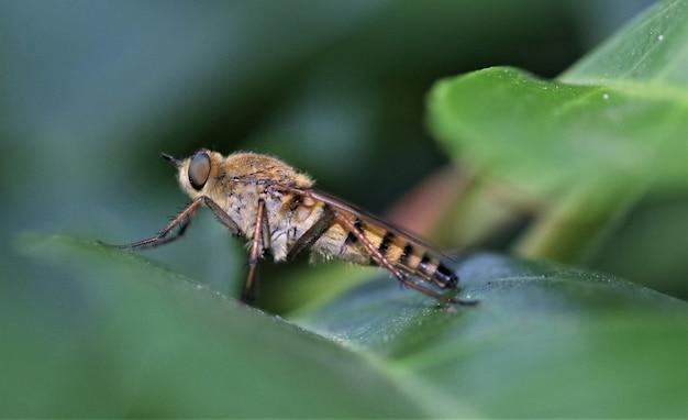 Robberfly (asilidae)