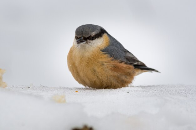 Robin congelou no inverno
