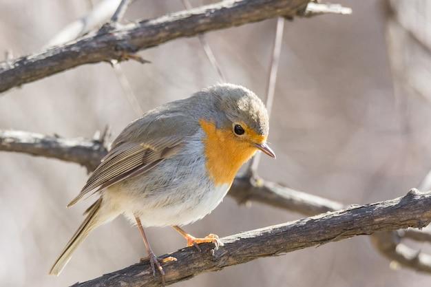 Robin em um galho