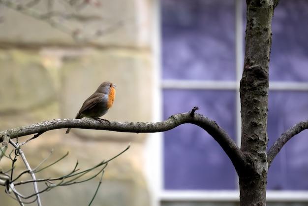 Robin (erithacus rubecula) cantando no inverno