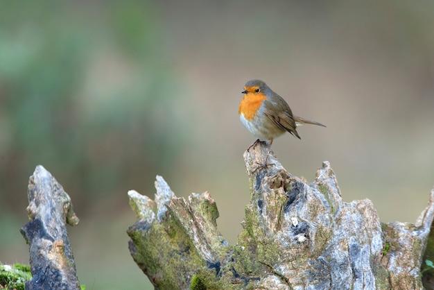 Robin europeu com as últimas luzes do dia no inverno