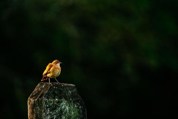 Robin europeu em pé na madeira sob a luz do sol
