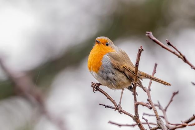 Robin europeu em uma macieira sob chuva fraca