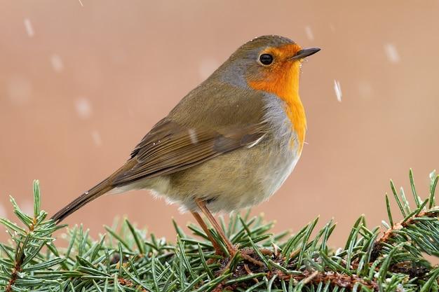 Robin europeu sentado em agulhas de árvore durante a neve