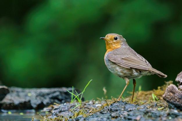 Robin vermelho na natureza Foto gratuita