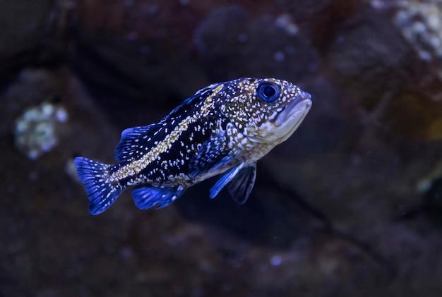 Rockfish da china
