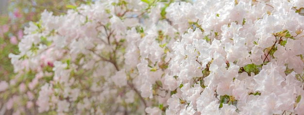 Rododendro branco de florescência (azálea), close-up, foco seletivo, espaço da cópia.