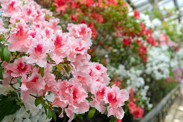 Rododendro cor-de-rosa de florescência (azálea), close-up, foco seletivo, espaço da cópia.