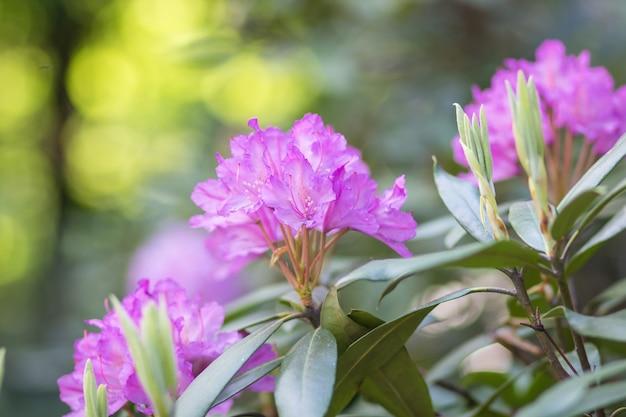 Rododendro de florescência no jardim botânico