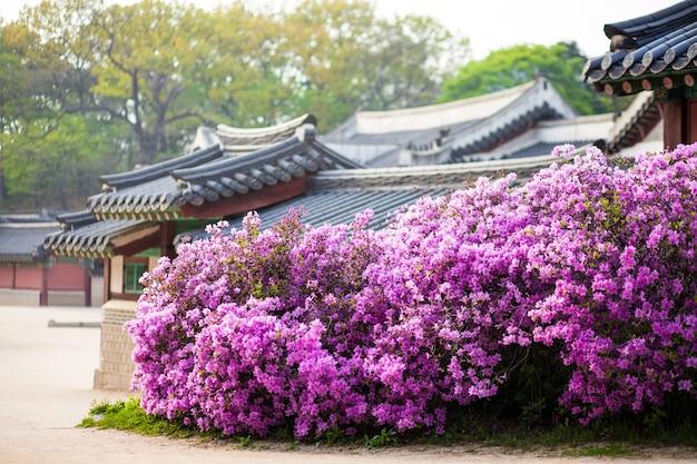 Rododendro florescendo no palácio changdeokgung em seul, na coreia, com casas tradicionais ao fundo
