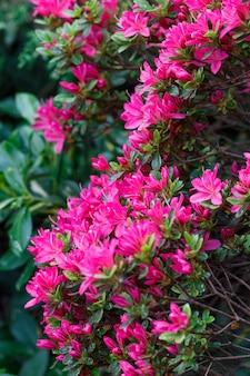 Rododendros bonitos de cores diferentes