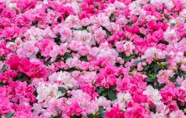 Rododendros rosa flor no jardim, foco seletivo