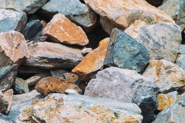 Roedor de pika em pedras nas montanhas. pequeno animal curioso na colina rochosa colorida. pouco fofo mamífero fofo em pedregulhos pitorescos nas montanhas. rato pequeno com orelhas grandes. pouco ágil pika.