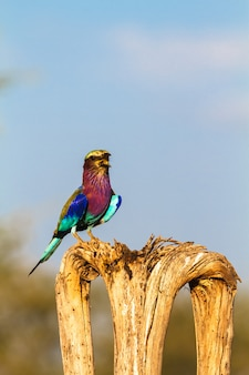 Role na árvore. parque sweetwaters. quênia, áfrica