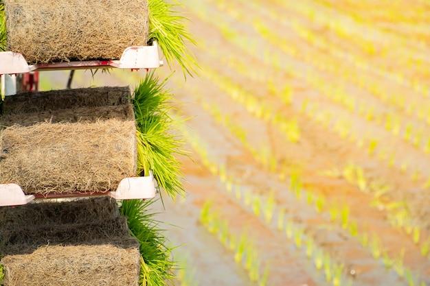 Rolos de mudas de arroz para preparar agricutural na placa no campo de arroz