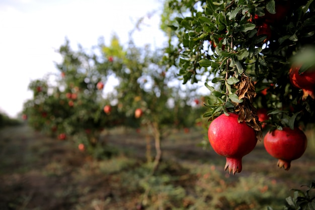 Romã fresca na árvore