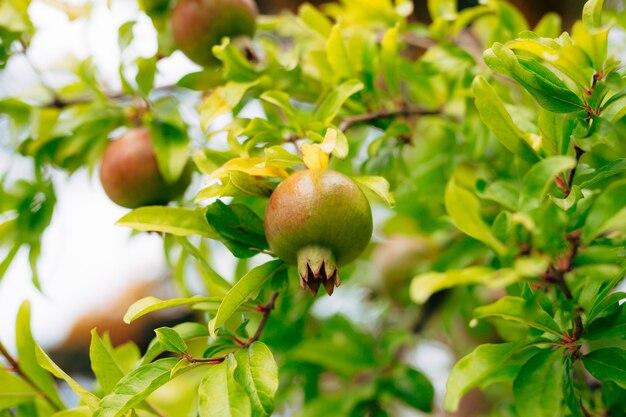 Romã vermelha madura nas árvores de romã