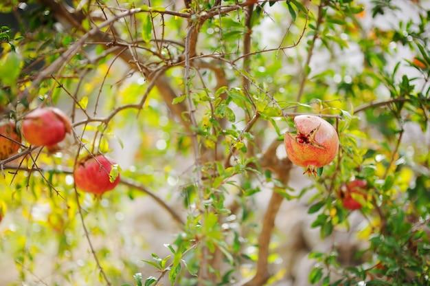 Romãs maduras abrindo na árvore