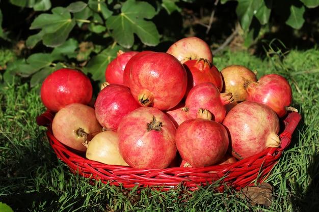 Romãs maduras em uma cesta na grama verde, a colheita