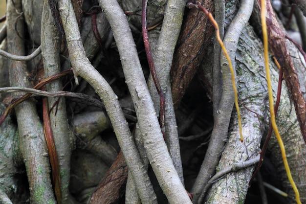 Roots of a banyan tree close up