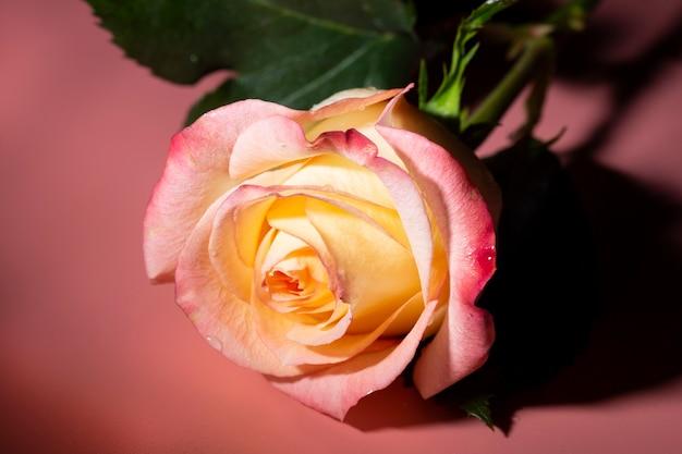 Rosa aberta amarelo-rosa com gotas de água em um fundo rosa