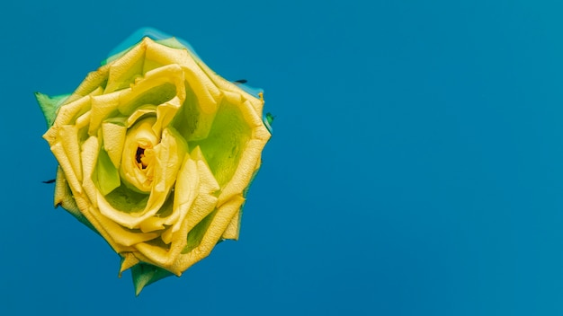 Rosa amarela na água com espaço de cópia
