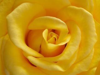 Rosa amarela, rosa