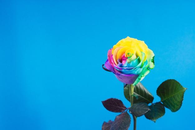 Rosa arco-íris com pétalas coloridas na superfície azul