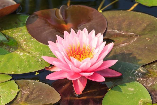 Rosa bonita que flutua waterlily em uma lagoa.
