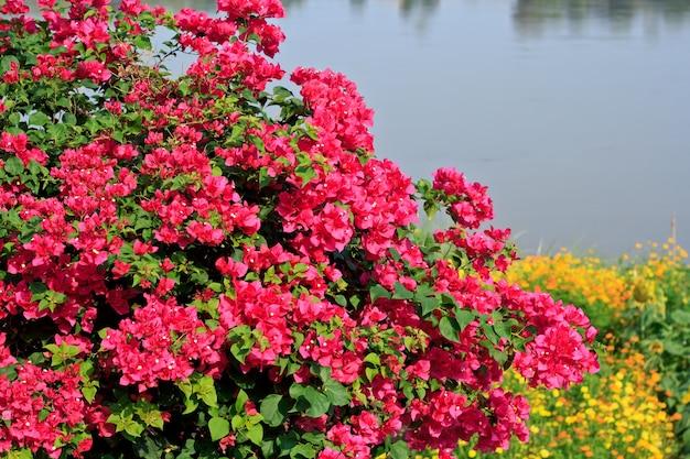 Rosa bougainvillea glabra choisy flor com folhas bonito papel flor vintage no jardim