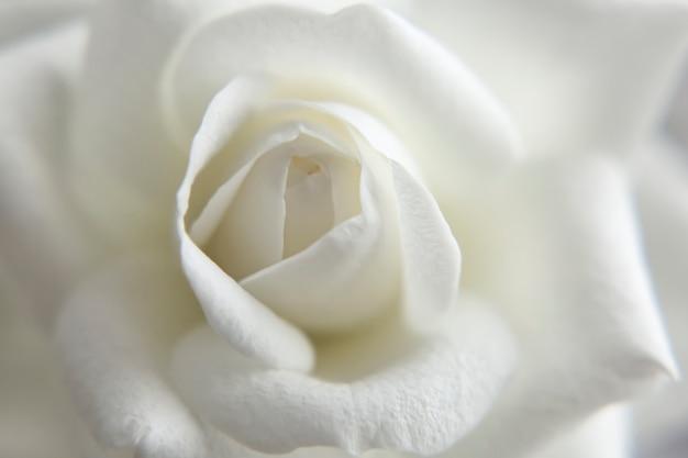 Rosa branca borrada closeup papel de parede fundo em branco delicada imagem suave