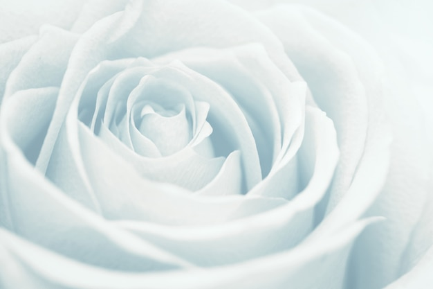 Rosa branca clara como plano de fundo