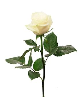 Rosa branca isolada no fundo branco.
