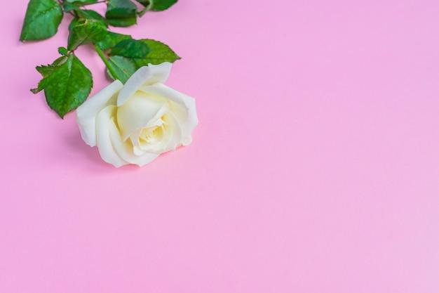 Rosa branca linda florescendo em fundo rosa pastel. quadro floral romântico. copie o espaço