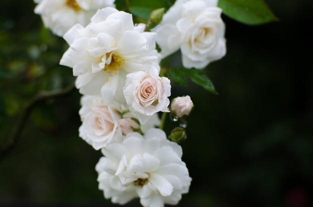 Rosa branca no jardim.