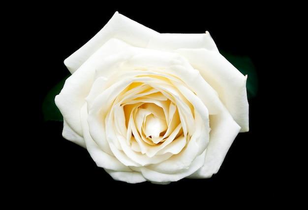 Rosa branca sobre um fundo preto