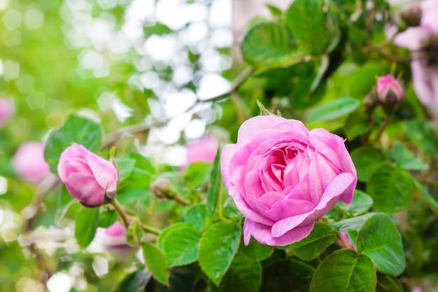 Rosa centifolia (rose des peintres) closeup de flores sobre fundo verde jardim